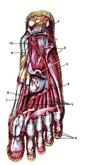 <br>Рис. 312. Глубокие артерии подошвенной стороны стопы,<br>правой. Вид снизу. Поверхностные мышцы подошвы и сухожилия длинных сгибателей<br>пальцев отрезаны и частично<br>удалены.<br>1-задняя болыиеберцовая артерия; 2-латеральная подошвенная артерия; 3-мышна;<br>отводящая большой палец стопы; 4-латеральная подошвенная (артериальная) дуга;<br>5-подошвенные плюсневые артерии; 6-собствснные подошвенные пальцевые артерии;<br>7-глубокая ветвь медиальной подошвенной артерии; 8-глу-бокая подошвенная ветвь<br>тыльной артерии стопы; 9-поверхност-ная ветвь медиальной подошвенной артерии;<br>10-медиальная подошвенная артерия.<br>Fig. 312. Глубокие артерии подошвенной стороны стопы,<br>правой. Вид снизу. Поверхностные мышцы подошвы и<br>сухожилия длинных сгибателей пальцев отрезаны и частично<br>удалены.<br>1-а. tibialis posterior; 2-a. plantaris lateralis; 3-m. adductor hallucis; 4-arcus<br>plantaris зкщагтвгы; 5-aa. metatarsalcs plantares; 6-aa. digitales plantares<br>propriae; 7-r. profundus a. plantaris mcdialis; 8-r. profundus plantaris a.<br>dorsalis pedis; 9-r. superficial is a. plantaris medialis; 10-a. plantaris medialis.<br>Fig. 312. Deep arteries of plantar side of right foot. View from below.<br>Superficial plantar muscles and tendons of long digital flexor muscles<br>are partially removed.<br>1 -posterior tibial artery; 2-lateral plantar artery; 3-abduclor hallucis; 4-deep<br>plantar arch; 5-plantar metatarsal arteries; 6-plantar digital arteries proper;<br>7-deep branch of medial plantar artery; 8-deep plantar branch of dorsal artery<br>of foot; 9-superficial branch of medial plantar artery; 10-medial plantar artery.