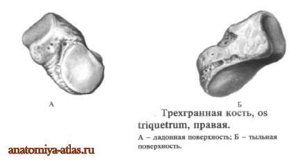 Трехгранная кость