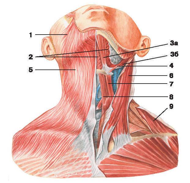 Рис.95. Поверхностные и срединные мышцы шеи:1 — мышца смеха; 2 — челюстно-подъязычная мышца; 3 — двубрюшная мышца: а) переднее брюшко, б) заднее брюшко;4 — шилоподъязычная мышца; 5 — подкожная мышца шеи; 6 — грудино-ключично-сосцевидная мышца;7 — верхнее брюшко лопаточно-подъязычной мышцы; 8 — грудино-подъязычная мышца; 9 — трапециевидная мышца