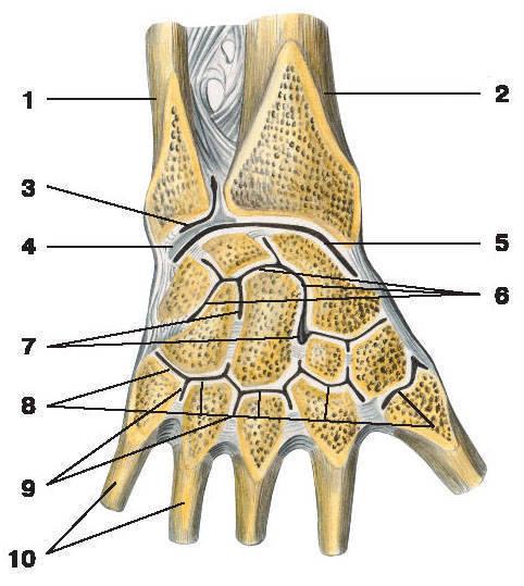 Рис.36. Суставы и связки кисти (тыльная поверхность):1 — локтевая кость; 2 — лучевая кость; 3 — дистальный лучелоктевой сустав; 4 — суставной диск;5 — лучезапястный сустав; 6 — среднезапястный сустав; 7 — межзапястные суставы;8 — запястно-пястные суставы; 9 — межпястные суставы; 10 — пястные кости