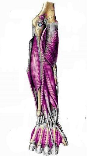 Мышцы предплечья, правого