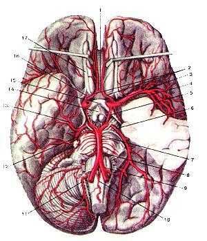 <br>Рис. 290. Артерии головного мозга. Вид снизу. 1-передняя соединительная артерия;<br>2-передняя мозговая артерия; 3-внутренняя сонная артерия; 4-средняя мозговая<br>артерия; 5-задняя соединительная артерия; 6-задняя мозговая артерия; 7-базиляриая<br>артерия; 8-передняя нижняя мозжечковая артерия; 9-гюзвоночная артерия; 10-передняя<br>спинномозговая артерия; 11-задняя нижняя мозжечковая артерия; 12-верхняя мозжечковая<br>артерия; 13-теменно-затылочная артерия; 14-воронка гипоталамуса; 15-зрительный<br>перекрест; 16-переднее продырявленное вещество; 17-обонятельный тракт.<br>Fig. 290. Артерии головного мозга. Вид снизу. 1-а. communicans anterior; 2-a.<br>cerebri anterior; 3-a. carotis interna; 4-a. cerebri media; 5-a. communicans<br>posterior; 6-a. cerebri posterior; 7-a. basilaris; 8-a. cerebelli inferior anterior;<br>9-a. vertebralis; 10-a. spinalis anterior; 11-a. cerebelli inferior posterior;<br>12-a. cerebelli superior; 13-a. parietooccipitalis; 14-infundibulum (hypothalamici);<br>15-chiasma opticum; 16-substantia pertorata rostalis (anterior); 17-tractus<br>olfactorius.<br>Fig. 290. Arteries of brain. Inferior aspect.<br>1-anterior communicating artery; 2-anterior cerebral artery; 3-internal carotid<br>artery; 4-media! cerebral artery; 5-posterior communicating artery; 6-posterior<br>cerebral artery; 7-basillar artery; 8-anterior interior cerebellar artery; 9-vertebral<br>artery; 10-anterior spinal artery; II-posterior inferior cerebellar artery;<br>12-superior cerebellar artery; 13-pari-etooccipital artery; 14-infundibulum<br>(ofhypothalamus); 15-opticchi-asm; 16-anterior perforated substance; 17-olfactory<br>tract.