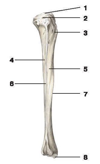 Рис.47. Большеберцовая кость (вид сбоку):1 — межмыщелковое возвышение; 2 — верхняя суставная поверхность; 3 — бугристость большеберцовой кости;4 — задняя поверхность; 5 — латеральная поверхность; 6 — межкостный край; 7 — передний край; 8 — медиальная лодыжка