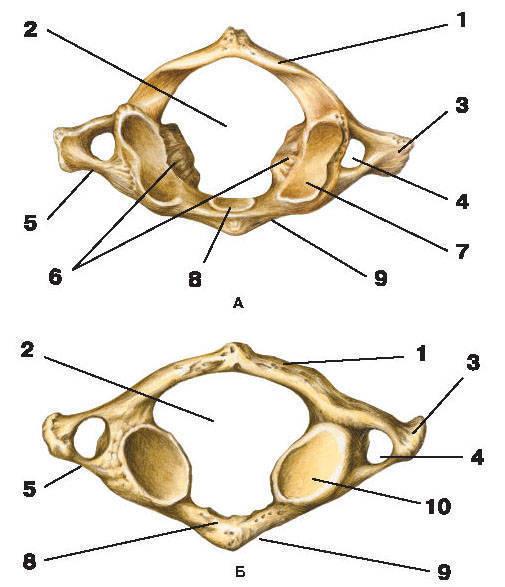 Рис.5. I шейный позвонок (атлант)А — вид сверху; Б — вид снизу:1 — задняя дуга; 2 — позвоночное отверстие; 3 — поперечный отросток;4 — отверстие поперечного отростка; 5 — реберный отросток; 6 — латеральные массы;7 — верхняя суставная ямка атланта; 8 — ямка зуба; 9 — передняя дуга;10 — нижняя суставная ямка