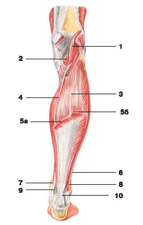 Рис.138. Мышцы голени (вид сзади):1 — подошвенная мышца; 2 — подколенная мышца; 3 — камбаловидная мышца; 4 — сухожилие подошвенной мышцы;5 — икроножная мышца: а) медиальная головка, б) латеральная головка; 6 — сухожилие длинной малоберцовой мышцы;7 — сухожилие задней большеберцовой мышцы; 8 — короткая малоберцовая мышца; 9 — сухожилие длинного сгибателя пальцев;10 — пяточное сухожилие (сухожилие Ахилла)