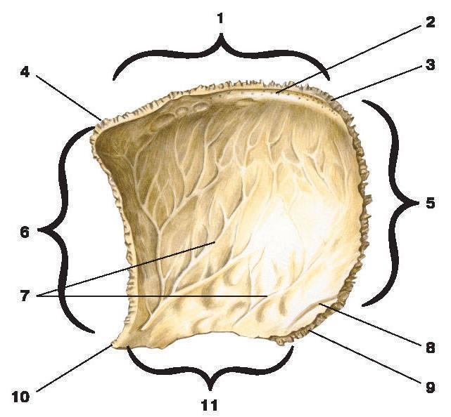 Рис.69. Теменная кость (вид изнутри):1 — сагиттальный край; 2 — борозда верхней сагиттальной пазухи;3 — затылочный угол; 4 — лобный угол; 5 — затылочный край; 6 — лобный край;7 — артериальные борозды; 8 — борозда сигмовидной пазухи; 9 — сосцевидный угол;10 — клиновидный угол; 11 — чешуйчатый край