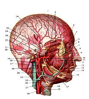 <br>Рис. 286. Глубокие артерии головы. Вид справа. 1-лобная ветвь поверхностной<br>височной артерии; 2-глубокие височные артерии; 3-надглазничная артерия; 4-надблоковая<br>артерия; 5-верхнечелюстная артерия (крыловидно-небный отдел); 6-дорсальная артерия<br>носа; 7-задняя верхняя альвеолярная артерия; 8-угловая артерия; 9-подглазничная<br>артерия; 10-жевательная артерия; 11-щечная артерия; 12-лицевая вена; 13-верхняя<br>губная артерия; 14-лицевая артерия; 15-нижняя губная артерия; 16-под-бородочная<br>артерия; 17-подподбородочная (поднижнечелюстная) артерия; 18-верхняя гортанная<br>артерия; 19-щито-подъязычная мембрана; 20-общая сонная артерия; 21-внутренняя<br>сонная артерия; 22-наружная сонная артерия; 23-язычная артерия; 24-внут-ренняя<br>яремная вена; 25-занижнечелюстная вена; 26-затылочная артерия; 27-нижняя альвеолярная<br>артерия; 28-наружная сонная артерия; 29-сосцевидный отросток височной кости;<br>30-верхнече-люстная артерия (челюстной отдел); 31-средняя менингиальная артерия;<br>32-задняя ушная артерия; 33-поперечная артерия лица; 34-поверхностная височная<br>артерия; 35-средняя височная артерия; 36-теменная ветвь поверхностной височной<br>артерии.<br>Fig. 286. Глубокие артерии головы. Вид справа. -r. frontalis a. temporalis<br>superficialis; 2-aa. temporales profundae; 3-a. supraorbitalis; 4-a. supratrochlearis;<br>5-a. maxillaris (pars sphenopalatina); 6-a. dorsalis nasi; 7-a. alveolaris superior<br>posterior; 8-a. angularis; 9-a.ifraorbitalis; 10-a. masseterica; ll-a. buccalis;<br>12-v. lacialis; 13-a. labialis superior; 14-a. facialis; 15-a.labialis inferior;<br>16-a. mentalis; 17-a. submentalis (a. submandibularis); 18-a. laryngea superior;<br>ll)-membrana thyrohyoidea; 20-a. carotis communis; 21-a. carotis interna; 22-a.<br>carotis externa; 23-a. lingualis; 24-v. jugularis interna; 25-v. retromandibulars;<br>26-a. occipitalis; 27-a. alveolaris inferior; 28-a. carotis externa; 29-processus<br>mastoideus ossis temporale; 30-a. maxillaris (pars mandibu
