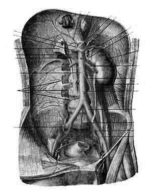 Брюшная часть аорты (aorta abdominalis) и ее ветви