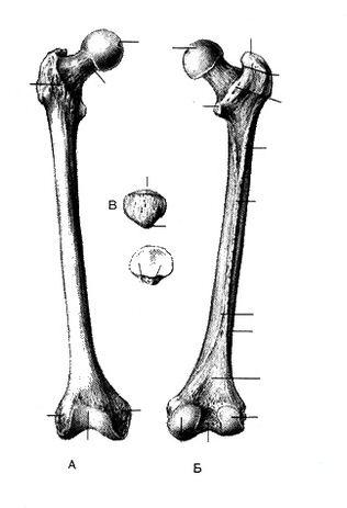 Бедренная кость (femur)