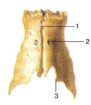 Носовая кость (ossa nasalia). Вид сверху. 1-межносовой шов; 2-отверстие носовой кости; 3-свободный край;