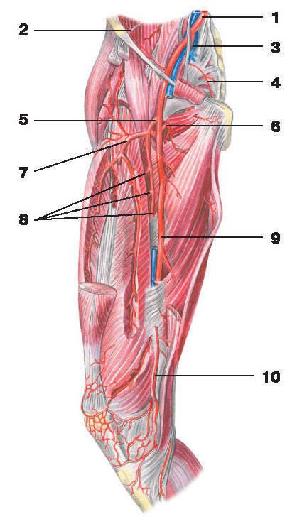 Рис.228. Бедренная артерия:1 — общая подвздошная артерия; 2 — глубокая артерия, огибающая бедренную кость; 3 — внутренняя подвздошная артерия;4 — латеральная крестцовая артерия; 5 — глубокая артерия бедра; 6 — медиальная артерия, огибающая бедренную кость;7 — латеральная артерия, огибающая бедренную кость; 8 — прободающие артерии; 9 — бедренная артерия; 10 — нисходящая коленная артерия