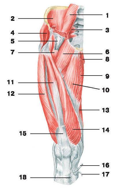 Рис.130. Мышцы таза и бедра (вид спереди):1 — большая поясничная мышца; 2 — подвздошная мышца; 3 — грушевидная мышца; 4 — средняя ягодичная мышца;5 — подвздошно-гребешковая сумка; 6 — гребешковая мышца; 7 — подвздошно-поясничная мышца; 8 — тонкая мышца;9 — большая приводящая мышца; 10 — длинная приводящая мышца; 11 — промежуточная широкая мышца бедра;12 — латеральная широкая мышца бедра; 13 — полуперепончатая мышца; 14 — медиальная широкая мышца бедра;15 — сухожилие самой длинной прямой мышцы бедра; 16 — сухожилие полусухожильной мышцы; 17 — сухожилие тонкой мышцы;18 — сухожилие портняжной мышцы