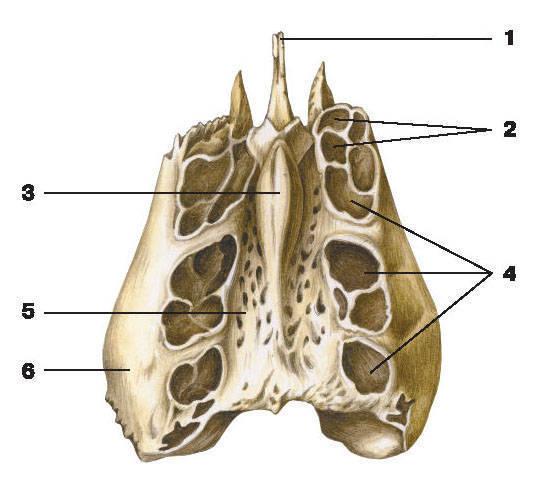 Рис.73. Решетчатая кость (вид сверху):1 — перпендикулярная пластинка; 2 — решетчатые ячейки; 3 — петушиный гребень;4 — решетчатый лабиринт; 5 — решетчатая пластинка; 6 — глазничная пластинка
