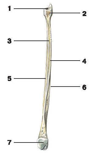 Рис.48. Малоберцовая кость (с медиальной стороны):1 — суставная поверхность; 2 — головка малоберцовой кости; 3 — межкостный край; 4 — медиальная поверхность;5 — передний край; 6 — задний край; 7 — латеральная лодыжка