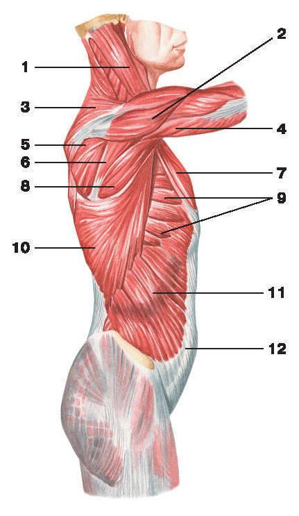 Рис.104. Поверхностные мышцы груди (вид сбоку):1 — грудино-ключично-сосцевидная мышца; 2 — дельтовидная мышца; 3 — трапециевидная мышца;4 — трехглавая мышца плеча; 5 — подостная мышца; 6 — малая круглая мышца; 7 — большая грудная мышца;8 — большая круглая мышца; 9 — передняя зубчатая мышца; 10 — широчайшая мышца спины;11 — наружная косая мышца живота; 12 — апоневроз наружной косой мышцы живота