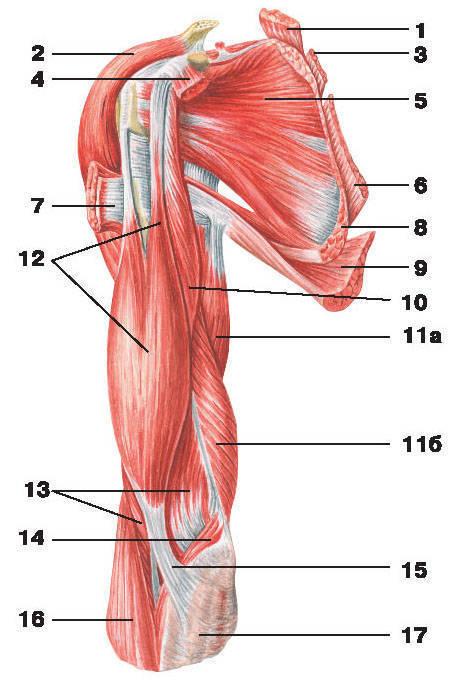 Рис.111. Мышцы плеча и плечевого пояса (вид спереди):1 — мышца, поднимающая лопатку; 2 — дельтовидная мышца; 3 — малая ромбовидная мышца;4 — малая грудная мышца; 5 — подлопаточная мышца; 6 — большая ромбовидная мышца;7 — большая грудная мышца; 8 — передняя зубчатая мышца; 9 — широчайшая мышца спины; 10 — клювовидно-плечевая мышца;11 — трехглавая мышца плеча: а) длинная головка, б) медиальная головка; 12 — двуглавая мышца плеча;13 — плечевая мышца; 14 — круглый пронатор; 15 — апоневроз двуглавой мышцы плеча;16 — плечелучевая мышца; 17 — фасция предплечья