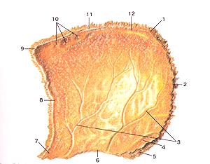Теменная кость (os parietale) Внутренняя поверхность