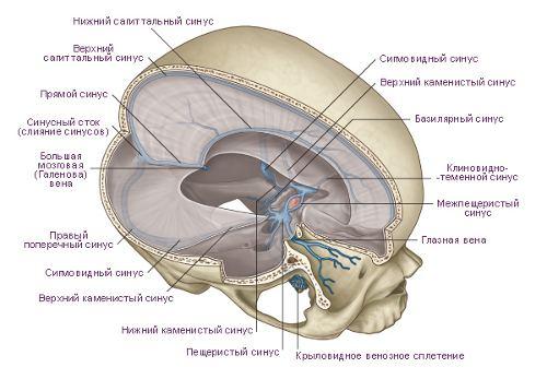 Твердая оболочка головного мозга (dura mater encephali)