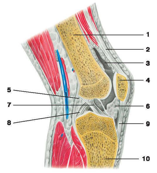 Рис.56. Коленный сустав (вертикальный разрез):1 — бедренная кость; 2 — суставная капсула; 3 — суставная полость; 4 — надколенник;5 — медиальный мениск; 6 — крыловидная складка; 7 — передняя крестообразная связка;8 — задняя крестообразная связка; 9 — связка надколенника; 10 — большеберцовая кость
