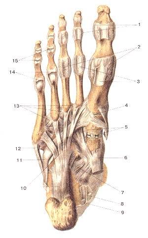 <br>Рис. 97. Связки и суставы стопы, правой.<br>Вид снизу (подошвенная сторона).<br>1-коллатеральные связки; 2-подошвенные связки плюсне-фатанго-вых суставов; 3-влагалиша<br>сухожилий мышц - сгибателей пальцев стопы (вскрыты); 4-предплюсне-гшюсневый<br>сустав 1-го пальца стопы; 5-подошвенные клино-ладьевидные связки; 6-сухожилие<br>задней большеберцовой мышцы; 7-подошвенная пятом но-лааьевид-ная связка; 8-сухожилие<br>мышцы - длинною сгибателя пальцев (стопы); 9-сухожилие мышцы -длинного сгибателя<br>большого пальца стопы; 10-длинная подошвенная связка; 11-сухожилие длинной малоберцовой<br>мышцы; 12-сухожилие короткой малоберцовой мышцы; 13-межкостные плюсневые связки;<br>14-плюсне-фалашо-вые суставы (вскрыты); 15-межфаланговые суставы (вскрыты).<br>Fig. 97. Связки и суставы стопы, правой.<br>Вид снизу (подошвенная сторона).<br>1-ligamenta collateralia; 2-ligamenta plantaria art.metaphalangearum; 3-vagina<br>tcndinum musculi flexoris digitorum pedis (вскрыты); 4-articula-tio tarsometatarsea<br>(I); 5-ligamenta cuneonavicularia plantaria; 6-tendo m.tibialis postenora; 7-ligamentum<br>calcaneonaviculare plantare; 8-tendo m flexoris digitorum longi; 9-tendo m.flexoris<br>hallucis longi; 10-ligamen-tum plantare longum; 11-tendo m.fibularis longi;<br>12-tendo m.fibularis brevis; 13-ligamenta metatarsalia interossea; 14-articulationes<br>metatar-sophalangeae (вскрыты); 15-aniculationes interphalangeae.<br>Fig. 97. Ligaments and joints of right foot.<br>Anterior aspect (plantar surface).<br>1 -collateral ligaments; 2-plantar ligaments of metatarsophalangeal joints;<br>3-tendinous sheath of flexor digitorum of foot (dissected); 4-tar-sometatarsal<br>joint of the first finger of foot; 5-plantar cuneonavicular ligaments; 6- tendon<br>of tibialis posterior; 7-plantar caleoneonovicular ligament; 8- tendon of flexor<br>digitorum longus (of foot); 9- tendon of flexor hallucis longus; 10-long plantar<br>ligament; II-tendon of peroneus longus; 12- tendon of peroneus brevis; 13- met