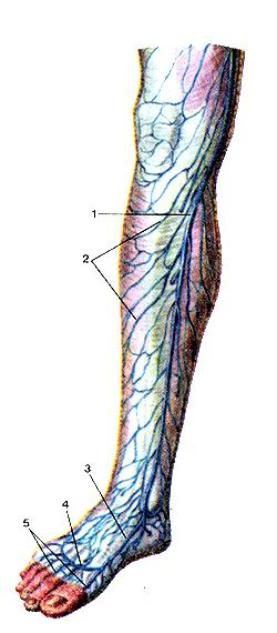 <br>Рис. 327. Поверхностные вены голени, правой. Вид спереди.<br>I-большая подкожная вена ноги;<br>2-подкожные вены голени; 3-ме-<br>диальная краевая вена стопы;<br>4-тыльная венозная дуга стопы;<br>5-тыльные пальцевые вены.<br>Fig.<br><br><br><script async src=