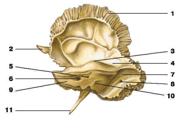 Рис.65. Височная кость (вид изнутри):1 — чешуйчатая часть; 2 — скуловой отросток; 3 — дугообразное возвышение; 4 — барабанная крыша;5 — поддуговая ямка; 6 — внутреннее слуховое отверстие; 7 — борозда сигмовидной пазухи;8 — сосцевидное отверстие; 9 — каменистая часть; 10 — наружное отверстие водопровода преддверия; 11 — шиловидный отросток