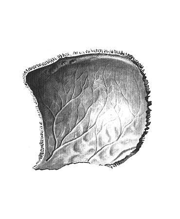 Теменная кость (os parietale)