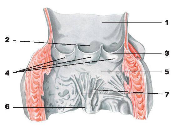 Рис.213. Клапаны аорты:1 — аорта; 2 — пазуха аорты; 3 — полулунные клапаны; 4 — узелок полулунного клапана;5 — митральный клапан; 6 — сосочковая мышца; 7 — сухожильные нити