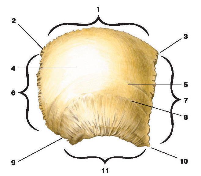 Рис.68. Теменная кость (вид снаружи):1 — сагиттальный край; 2 — затылочный угол; 3 — лобный угол; 4 — теменной бугорок;5 — верхняя височная линия; 6 — затылочный край; 7 — лобный край; 8 — нижняя височная линия;9 — сосцевидный угол; 10 — клиновидный угол; 11 — чешуйчатый край