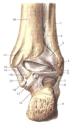 <br>Рис. 96. Связки голеностопного сустава, правого.<br>Вид сзади. Суставная капсула удалена.<br>1-малоберцовая кость; 2-межкостная перепонка голени; 3-задняя межберцовая связка;<br>4-блоктаранной кости; 5-латеральная лодыжка; 6-задняя таранно-малоберцовая связка;<br>7-подтаранный (таран-но-ияточный) сустав; 8-пяточио-малоберцовая связка; 9-пяточный<br>бугор; 10-задняя таранно-пяточная связка; 11-сухожилие мышцы -длинного сгибателя<br>большого пальца стопы; 12-опора таранной кости; 13-медиальная таранно-пяточная<br>связка; 14-медиальный бугорок заднего отростка таранной кости; 15- большебсрцово-пя-точная<br>часть медиальной связки голеностопного сустава; 16-задняя большеберцово-таранная<br>часгь медиальной связки голеностопного сустава; 17-медиальная лодыжка; 18-болыиеберцовая<br>кость<br>Fig. 96. Связки голеностопного сустава, правого.<br>Вид сзади. Суставная капсула удалена.<br>I-fibula; 2-membrana interossea cruris; 3-ligamentum tibiofibulare posterius;<br>4-trochlea tah; 5-malleolus lateralis; 6-ligamentum talofibu-lare posterius;<br>7-articulatio subtalaris (talocalcanea); 8-ligamentum calcaneofibulare; 9-tuber<br>calcaneum; 10-ligamentum talocalcaneum posterius; ll-tendom.llexorishallucislongi;<br>12-sustentaculumtali; 13-ligamentum talocalcaneum mediale; 14-tuberculum mediale<br>processus posteriora tali; 15-pars tibiocalcanea ligamenti medialis articulationis<br>talocruralis; 16-pars tibiotalaris pars tibiotalaris posterior (ligg. collat-erale<br>mediale); 17-malleolus medialis; 18-tibia.<br>Fig. 96. Ligaments of right ankle joint. Posterior aspect. Articular capsul<br>in absent.<br>1-fibula; 2-interosseus membrane of leg; 3-posterior tibiafibular ligament;<br>4-trochlea of talus; 5-lateral malleolus; 6-posterior talofibular ligament;<br>7-subtalar (talocalcaneal) joint; 8-calcaneofibular ligament; 9-calcaneal tuberosity;<br>10-posterior talocalcaneal ligament; 11- tendon ot flexor hallucis longus; 12-sustentaculum<br>of talus; 13-medial talocalcaneal ligame