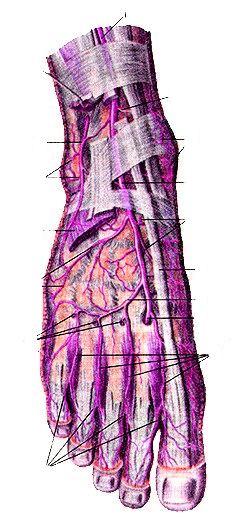 Артерии тыла стопы, правой