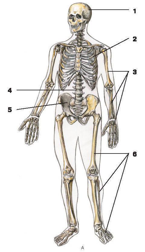 Рис.1. Скелет человекаА — вид впереди:1 — череп; 2 — грудная клетка; 3 — кости верхней конечности;4 — позвоночный столб; 5 — тазовая кость; 6 — кости нижних конечностей