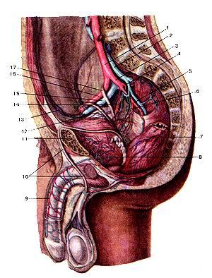 Рис. 304. Подвздошные артерии и их<br>ветви. Вид слева. Параса] иттальный рафез левее срединной плоскости. Брюшина<br>удалена.<br>1-правая общая подвздошная артерия; 2-правая общая подвздошная вена; 3-правая<br>внутренняя подвздошная артерия; 4-верхняя ягодичная артерия; 5-внутренняя половая<br>артерия; 6-нижняя моченузырная артерия; 7-прямая кишка; 8-момевой пузырь: 9-тыльная<br>артерия полового члена; 10-левый семявыно-сяший проток; 11-лобковая кость; 12-правый<br>семявыносящий проток; 13-нижняя надчревная артерия; 14-верхняя моченузырная<br>артерия; 15-наружная подвздошная артерия; 16-наружная подвздошная вена; 17-правый<br>мочеточник.<br>Fig. 304. Подвздошные артерии и их ветви. Вид слева. Парасагитгальный разрез<br>левее срединной плоскости. Брюшина<br>удалена.<br>1-а. iliaca communis dextra; 2-v. iliaca communis dextra; 3-a. iliaca extcrna<br>dextra; 4-a. glutca superior; 5-a. pudenda interna; 6-a. vesicalis inferior;<br>7-rectum; 8-vesica urinaria; 9-a. dorsalis penis; 10-ductus def-erens sinister;<br>11-ospubis; 12-ductusdeferens dexter; 13-a. epigastric^ inferior; I4-a. vesicalis<br>superior; 15-a. iliaca externa; 16-v. iliaca exter-na; 17-ureter dexter.<br>Fig. 304. Iliac arteries and their branches. View from the left. Parasaggital<br>incision to the left from medial plate. Peritoneum is<br>removed.<br>I-right common iliac artery; 2-right common iliac vein; 3-right inter nal iliac<br>artery; 4-superiorgluteal artery; 5-internal pudendal artery; 6 inferior vcsical<br>artery; 7-rectum; 8-urinary bladder; 9-dorsal artery о penis; 10-leftductusdeferens;<br>11-pubicbone; 12-right ductusdefercns 13-inferior epigastric artery; 14-superiorvesical<br>artery; 15-extemal iliai
