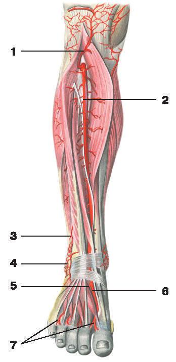 Рис.230. Передняя большеберцовая артерия:1 — возвратная передняя большеберцовая артерия; 2 — передняя большеберцовая артерия; 3 — прободающая ветвь малоберцовой артерии;4 — боковая сосудистая сеть лодыжки; 5 — латеральная предплюсневая артерия; 6 — тыльная артерия стопы; 7 — тыльные плюсневые артерии
