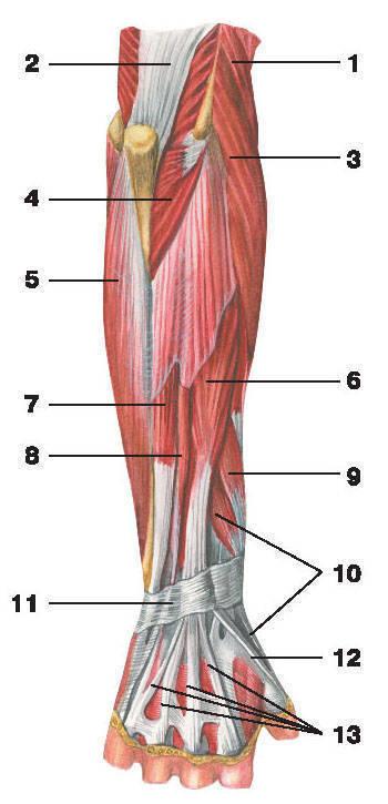 Рис.118. Мышцы предплечья (вид сзади):1 — плечелучевая мышца; 2 — трехглавая мышца плеча; 3 — длинный лучевой разгибатель запястья;4 — локтевая мышца; 5 — локтевой сгибатель кисти; 6 — разгибатель пальцев; 7 — локтевой разгибатель запястья;8 — разгибатель мизинца; 9 — длинная мышца, отводящая большой палец кисти;10 — короткий разгибатель большого пальца кисти; 11 — удерживатель разгибателей;12 — длинный разгибатель большого пальца кисти; 13 — сухожилия разгибателей пальцев