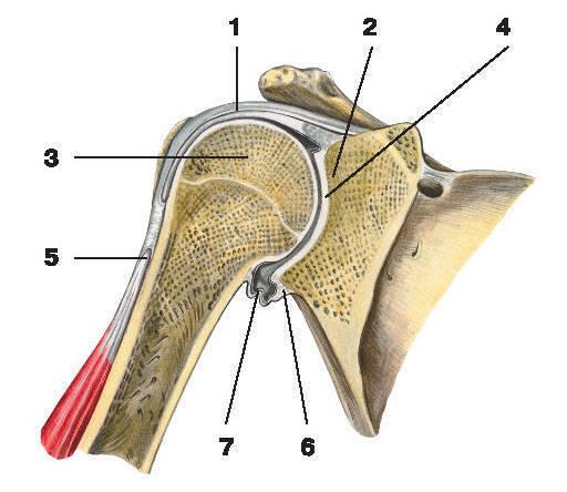Рис.31. Плечевой сустав (фронтальный разрез):1 — капсула сустава; 2 — суставная впадина лопатки; 3 — головка плечевой кости;4 — суставная полость; 5 — сухожилие длинной головки двуглавой мышцы плеча;6 — суставная губа; 7 — нижний заворот синовиальной оболочки сустава