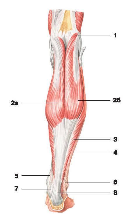 Рис.137. Мышцы голени (вид сзади):1 — подошвенная мышца; 2 — икроножная мышца: а) медиальная головка, б) латеральная головка;3 — камбаловидная мышца; 4 — фасция голени; 5 — сухожилие задней большеберцовой мышцы;6 — сухожилие длинной малоберцовой мышцы; 7 — сухожилие длинного сгибателя пальцев;8 — пяточное сухожилие (сухожилие Ахилла)