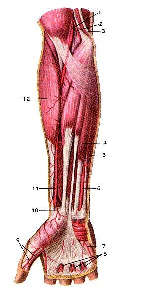 <br>Рис. 293. Поверхностные артерии предплечья и кисти, правой.<br>Вид спереди.<br>1-плечевая артерия; 2-нижняя локтевая коллатеральная артерия; 3-локтевой нерв;<br>4-мышца-поверхностный сгибатель пальцев; 5-мышца--локтевой сгибатель запястья;<br>6-локтевая артерия; 7-ладонная локтевая артерия мизинца; 8-обшие ладонные пальцевые<br>артерии; 9-артерия большого пальца кисти; 10-поверхно-стная ладонная ветвь лучевой<br>артерии; 11-лучевая артерия; 12-плечелучевая мышца.<br>Fig. 293. Поверхностные артерии предплечья и кисти, правой.<br>Вид спереди.<br>1-а. brachialis; 2-a. collateralis ulnaris inferior; 3-n. ulnaris; 4-m. flexor<br>digitorum superficial is; 5-m. tlexor carpi ulnaris; 7-a. palmaris ulnaris digiti<br>minimi; 8-aa. digitales palmares communes; 9-a. princeps pollicis; 10-r. palmaris<br>superficialis a. radialis; ll-a. radialis; 12-m. bra-chioradialis.<br>Fig. 293. Superficial arteries of right forearm and hand.<br>Anterior aspect.<br>1-brachial artery; 2-inlerior ulnar collateral artery; 3-ulnar nerve; 4-flexor<br>digitorum superficialis; 5-flexor carpi ulnaris; 6-ulnar artery; 7-palmar ulnar<br>artery of digitiminimi; 8-eommon palmar digital arteries;<br>9-pllllccpb pollit-b iiltciy; УО-аирсгГили puhuur blanch чГ ludial aiv^iy,<br>11-radial artery; 12-brachioradialis (muscle).
