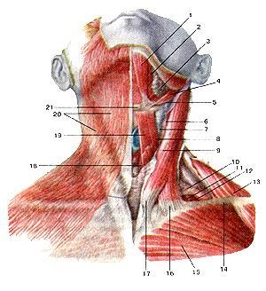 <br>Рис. 110. Поверхностные мышцы шеи.<br>Вид спереди. 1-переднее брюшко двубрюшной мышцы; 2-челюстно-подья-зычная мышца;<br>3-подчелюстная слюнная железа; 4-шило-подъя-зычная мышца; 5-заднее брюшко двубрюшной<br>мышцы; 6-внут-ренняя яремная вена; 7-обшая сонная артерия; 8-верхнее брюшко<br>лопаточно-подъязычной: мышцы; 9-грудино-ключич-но-сосцевидная мышца; 10-нижнее<br>брюшко лопаточно-подъязычной мышца; 11-средняя лестничная мышца; 12-задняя лестничная<br>мышца; 13-трапециевидная мышца; 14-ключица; 15-6олыиая фудная мышца; 16-ключичная<br>часть фудино-клю-чично-сосцевидной мышцы; 17-фудинная часть фудино-клю-чично-сосцевидной<br>мышцы; 18-фудино-щитовидная мышца; 19-фудино-подъязычная мышца; 20-подкожная<br>мышца шеи; 21-подъязычная кость.<br>Fig.<br><br><br><script async src=