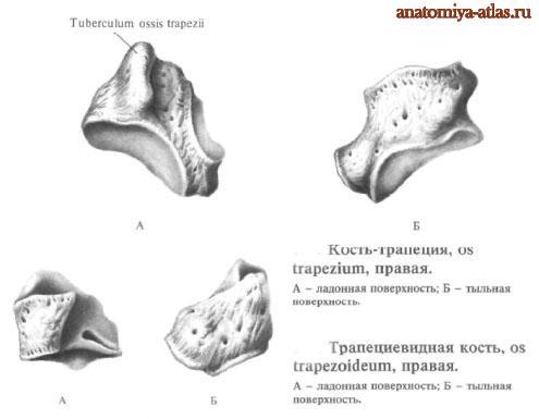 Кость-трапеция, трапециевидная кость