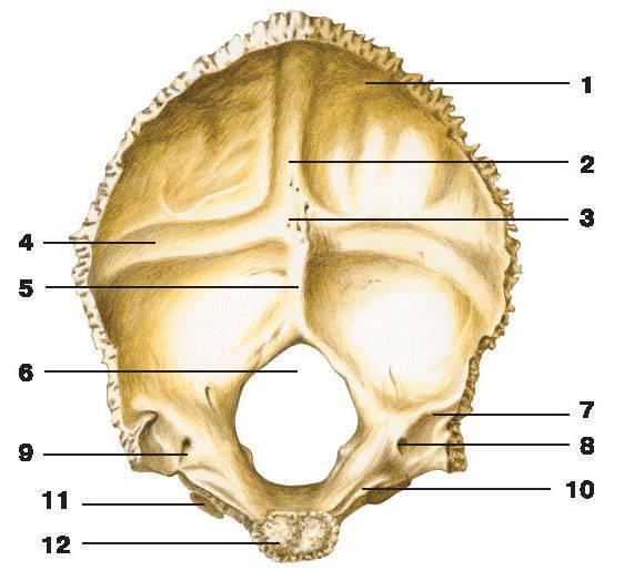 Рис.61. Затылочная кость (вид изнутри):1 — затылочная чешуя; 2 — борозда верхней сагиттальной пазухи; 3 — внутренний затылочный выступ;4 — борозда поперечной пазухи; 5 — внутренний затылочный гребень; 6 — большое отверстие;7 — борозда сигмовидной пазухи; 8 — мыщелковый канал; 9 — яремный отросток;10 — борозда нижней каменистой пазухи; 11 — боковая часть; 12 — основная часть
