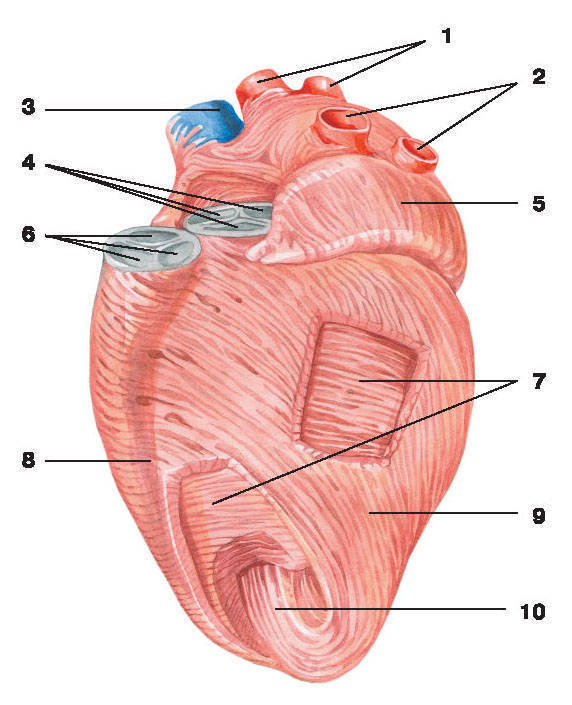 Рис.211. Мышечный слой сердца:1 — правые легочные вены; 2 — левые легочные вены; 3 — верхняя полая вена; 4 — клапан аорты; 5 — левое ушко;6 — клапан легочного ствола; 7 — средний мышечный слой; 8 — межжелудочковая борозда; 9 — внутренний мышечный слой;10 — глубокий мышечный слой