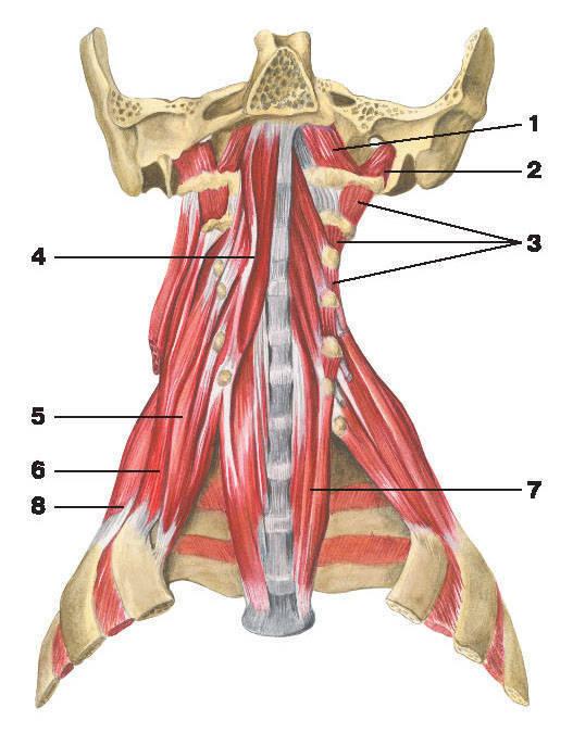 Рис.98. Глубокие мышцы шеи (вид спереди):1 — передняя прямая мышца головы; 2 — латеральная прямая мышца головы;3 — межпоперечные мышцы спины; 4 — длинная мышца головы; 5 — передняя лестничная мышца;6 — средняя лестничная мышца; 7 — длинная мышца шеи; 8 — задняя лестничная мышца