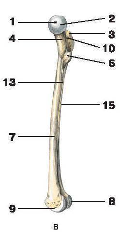 Рис.46. Бедренная костьВ — вид слева (с медиальной стороны):1 — ямка головки бедренной кости; 2 — головка бедренной кости; 3 — большой вертел;4 — шейка бедренной кости; 5 — межвертельная линия; 6 — малый вертел; 7 — тело бедренной кости;8 — латеральный мыщелок; 9 — медиальный мыщелок; 10 — вертельная ямка; 11 — межвертельный гребень;12 — ягодичная бугристость; 13 — медиальная губа; 14 — латеральная губа; 15 — шероховатая линия;16 — медиальный надмыщелок; 17 — латеральный надмыщелок; 18 — межмыщелковая ямка