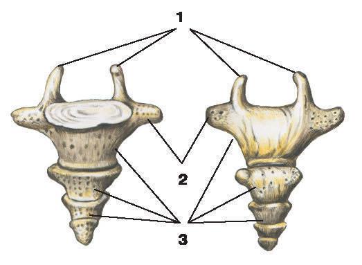 Рис.11. КопчикА — вид спереди; Б — вид сзади:1 — копчиковые рога; 2 — выросты тела I копчикового позвонка; 3 — копчиковые позвонки