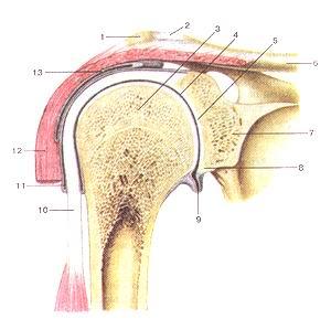 <br>Рис. 80. Плечевой сустав (articulatio huineri).<br>Фронтальный разрез.<br>1-акромион; 2-акромиалыю-ключичный сустав; 3-голова плечевой кости; 4-суставная<br>щель плечевого сустава; 5-суставная впадина лопатки; 6-ключица; 7-лопатка; 8-суставная<br>губа; 9-подмы-шечный карман суставной полости; 10-сухожилие длинной головки<br>двуглавой мышцы плеча; 11-синовиальное влагалище сухожилия длинной головки двуглавой<br>мышцы плеча; 12-дельто-видная мышца. 13-поддельтовидная сумка.<br>Fig. 80. Articulatio humeri. Фронтальный разрез. 1-acromion; 2-articulatioacromioclavicularis;<br>3-caput humeri; 4-cav-ilasarlicularisarticulatioiiis humeri; 5-cavitasglenoidale<br>(scapulae); 6-clavicula; 7-scapula; 8-labrum glenoidale; 9-recessus subaxilaris<br>cavi-tae articularis; 10-tcndo m.bicipitis brachii (caput longum); 11-vagina<br>synovialis tendinis m.bicipitis brachii (caput longum); 12-m.del-toideus; 13-bursa<br>subdelloidea.<br>Fig. 80. Shoulder joint. Frontal section.<br>1-acromion; 2-acromioclavicularjoint; 3-head of humerus; 4-articular cavity<br>of shoulder joint; 5-glenoid cavity (of scapula); 6-clavicule; 7-scapula; 8-glenoid<br>labrum; 9-subaxillar recess of articular cavity; 10-tendon of long head of the<br>biceps brachii; 1 l-inlertubercular tendon sheath (of biceps brachii); 12-deltoid;<br>13-subdeltoid bursa.