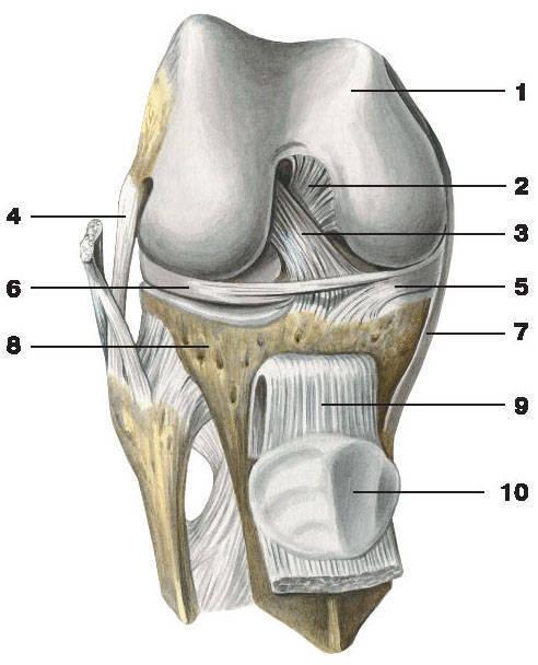 Рис.55. Коленный сустав с удаленной суставной капсулой:1 — бедренная кость; 2 — задняя крестообразная связка; 3 — передняя крестообразная связка;4 — малоберцовая коллатеральная связка; 5 — медиальный мениск; 6 — латеральный мениск;7 — большеберцовая коллатеральная связка; 8 — большеберцовая кость; 9 — связка надколенника; 10 — надколенник