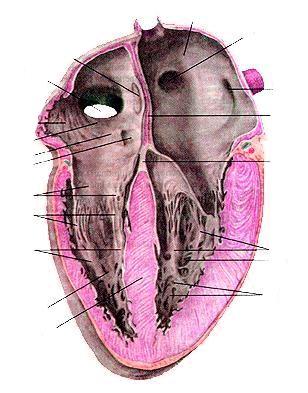 Внутренняя поверхность сердца, продольный разрез