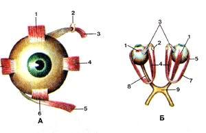 <br>Рис. 388. Мышцы глаза (musculi oculi). А-нид спереди; Б-вид сверху.<br>I-верхняя прямая мышца; 2-блок; 3-верхняя косая мышца; 4-ме-диальная прямая<br>мышца; 5-нижняя косая мышца; 6-нижняя прямая мышца; 7-латеральная прямая мышца;<br>8-зрительный нерв; 9-зрительный перекрест.<br>Fig. 388. Мышцы глаза. А-вид спереди; Б~вид сверху.<br>l-m. rectus superior; 2-trochlea; 3-m. obliquus superior; 4-m. rectus medialis;<br>5-m. obliquus inferior; 6-m. rectus interior; 7-m. rectus later-alis; 8-n. opticus;<br>9-chiasma opticum.<br>Fig. 388. Muscles of eyeball. A-anterior aspect; B-superior aspect.<br>1-superior rectus; 2-trochlea; 3-supcrior oblique; 4-medial rectus; 5-inferior<br>oblique; 6-inferior rectus; 7-lateral rectus; 8-optic nerve; 9-optic chiasma.<br>