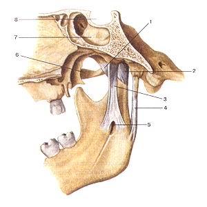<br>Рис. 77. Связки височно-нижне-челюстного сустава.<br>Вид с медиальной стороны.<br>1-латеральная связка (височно-нижнечелюстного сустава); 2-капсула височно-нижнечелюстного<br>сустава; 3-клиновидно-нижнечелюстная связка; 4-шило-нижнечелюстная связка; 5-от-верстие<br>нижней челюсти; 6-скуловая дуга; 7-Клиновидная пазуха; 8-гипофизарная ямка (турецкого<br>седла).<br>Fig. 77. Связки височно-нижнечелюстного сустава.<br>Вид с медиальной стороны.<br>1-ligamentum laterale (articulatio temporomandibularis); 2-capsula articulationis<br>temporomandibularis; 3-ligamentum sphenomandibu-lare; 4-ligamentum stylomandibulare;<br>5-foramcn mandibulae; 6-arcus zygomaticus; 7- sinus sphenoidalis; 8-fossa hypophysialis.<br>Fig. 77. Ligamenta of tempotamandibular joint.<br>Medial aspect.<br>1-lateral ligament (of temporomandibular joint); 2-capsula of tem-poromandibular<br>joint; 3-sphenomandibular ligament; 4-styIomandibu-lar ligament; 5-mandibular<br>foramen; 6-zygomatic arch; 7-sphenoidal sinus; 8-hypophysial fossa (of sella<br>turcica).